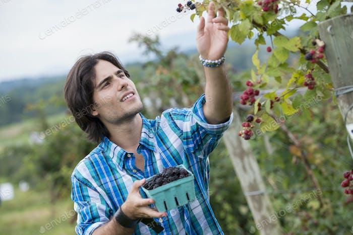 Ein junger Mann, der Brombeerfrüchte auf einer Bio-Obstfarm pflückt.