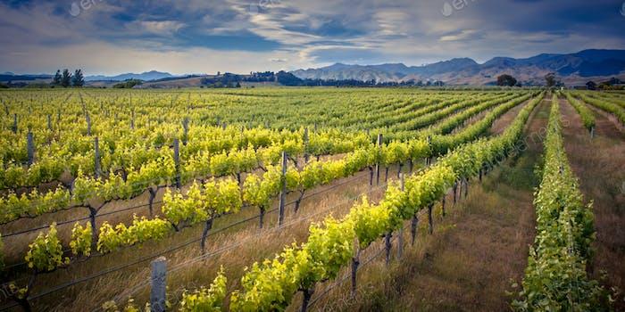 Vineyard Marlborough area new zealand