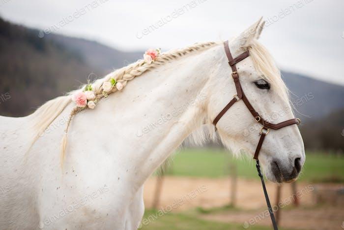 Schönes weißes Pferd Porträt