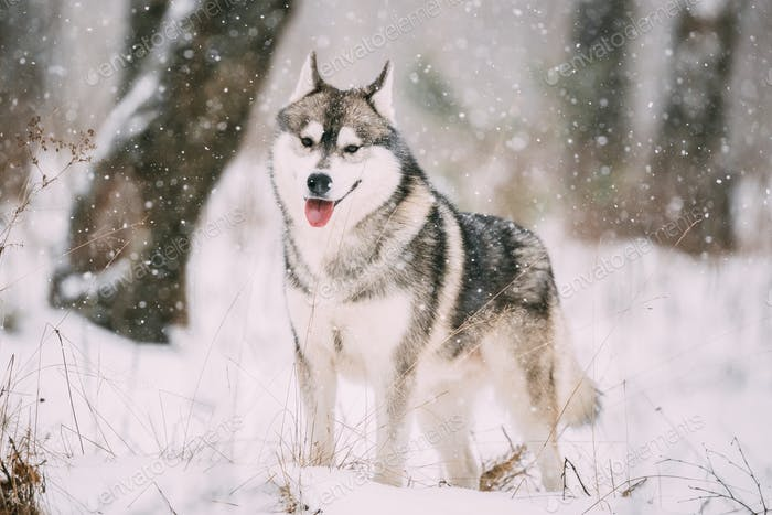 Siberian Husky Dog Walking Outdoor In Snowy Field At Winter Day