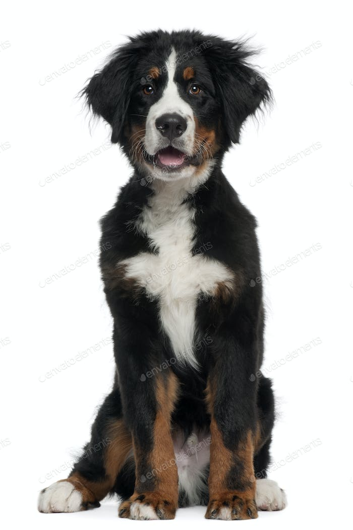 Bernese Mountain Dog, 5 months old, sitting in front of white background