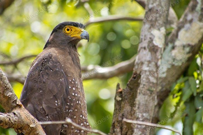 Schlangenadler, Wilpattu Nationalpark, Sri Lanka