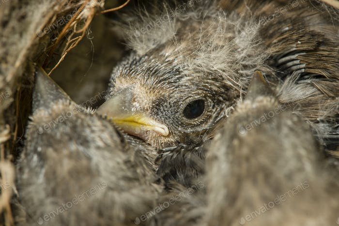 Nest and nestlings of European goldfinch (Carduelis carduelis)