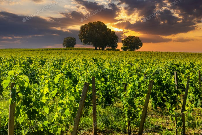 Vineyards at sunset. Spain, Rioja. Tourism and winemaking in Spain