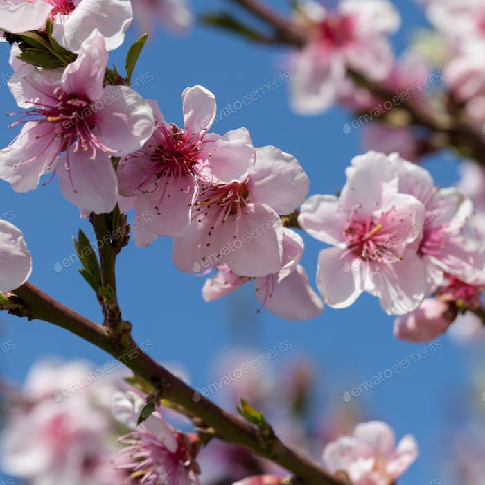 Blossoming peach on a background blue sky
