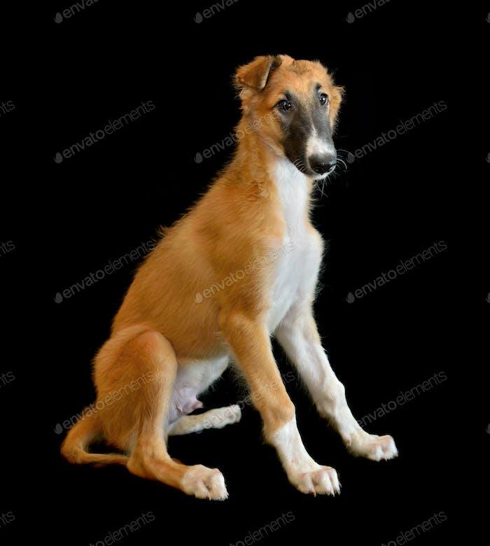 Puppy of Russian borzoi dog