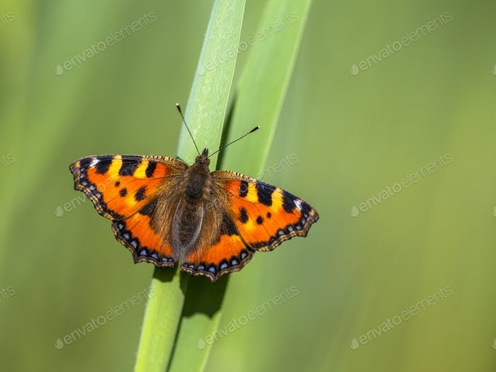 Perched Small tortoiseshell butterfly