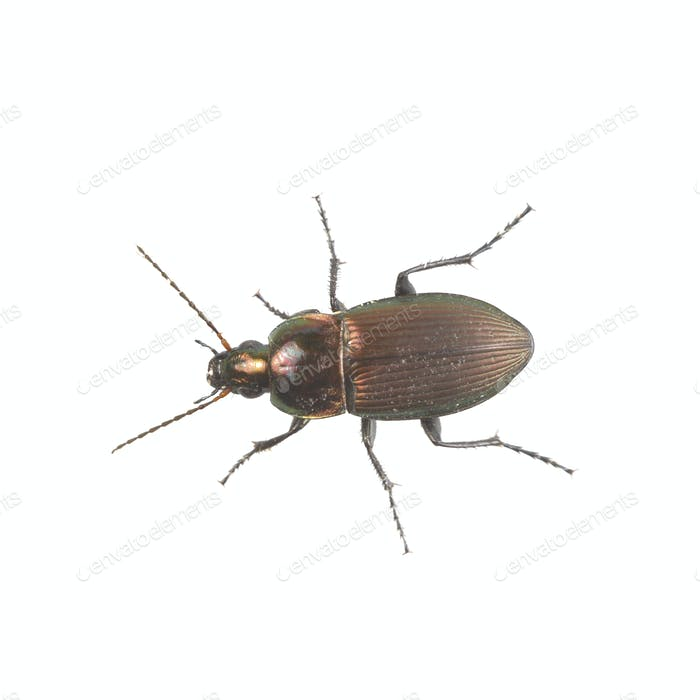 Brown beetle on a white background