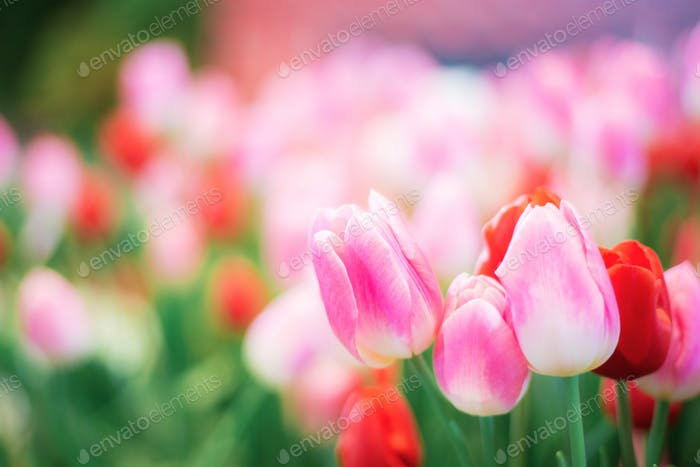 Pink tulip in winter