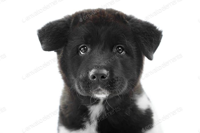 A black fluffy american s akita puppy looks at the camera