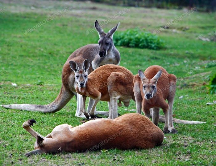 Very lazy kangaroo