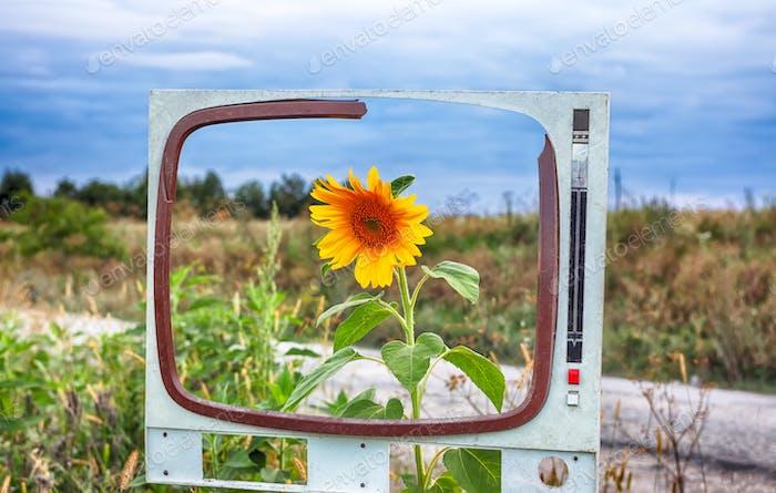 Single sunflower in a field framed.