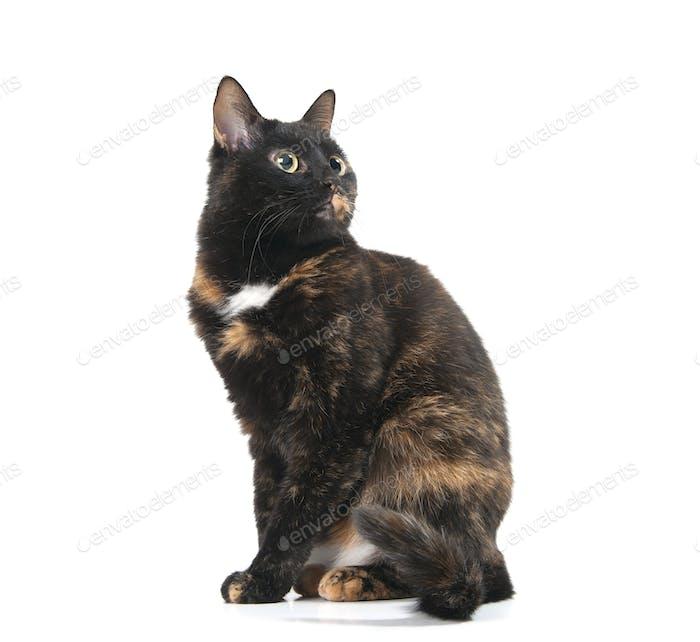 Beautiful graceful cat looking up.