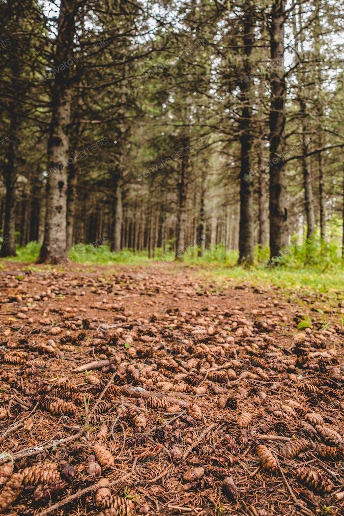 Waterless ground in evergreen forest
