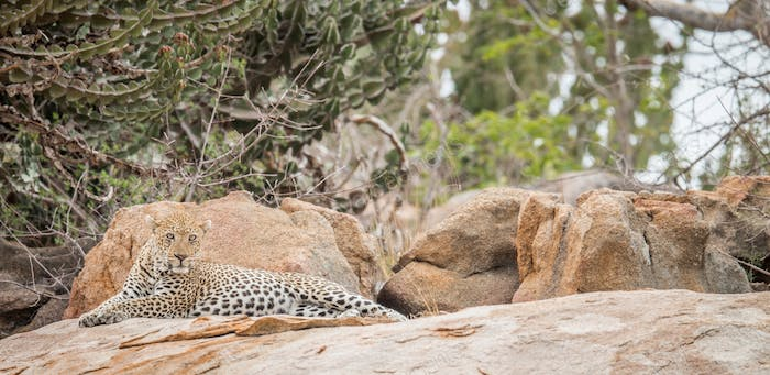 Leopard on the rocks.