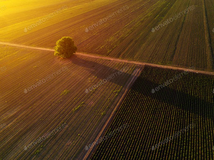 Lonely tree in cultivated field in sunset, drone pov