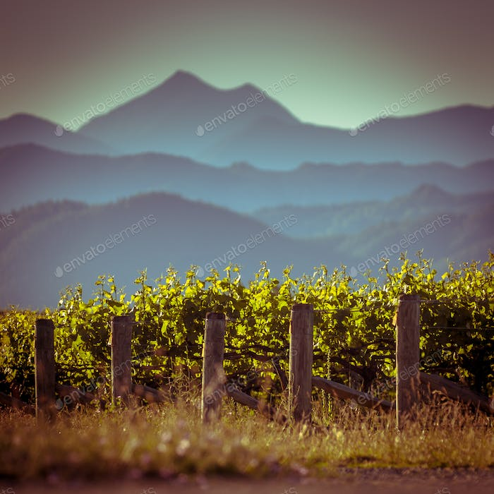 Vineyard with mountain view background