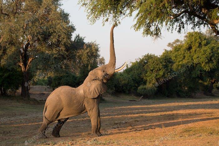 The African bush elephant