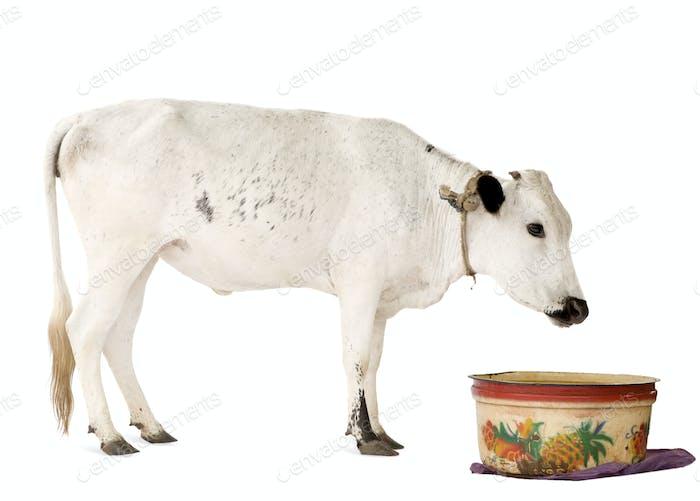 Afrikanische Kühe