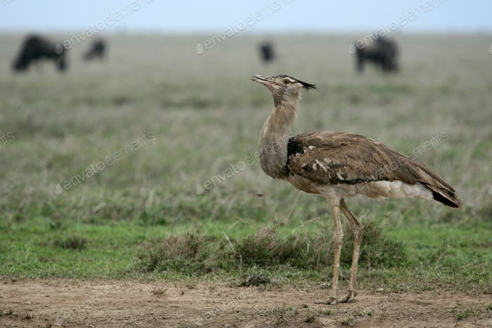 Kori Bustard - Serengeti Safari, Tanzania, Africa