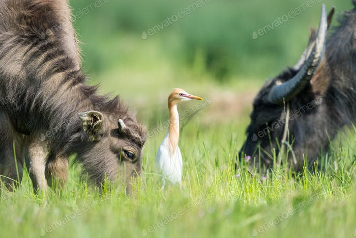 cattle egret in the grass with buffaloes