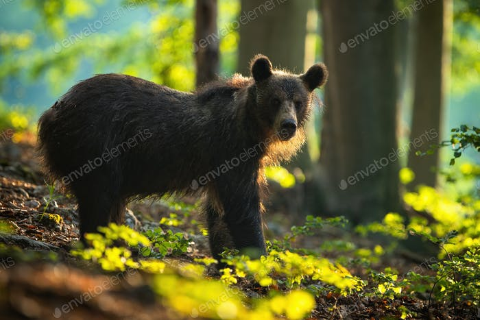 Calm young brown bear watching from side view in summer forest at sunrise