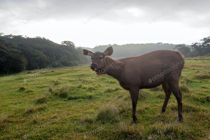 Wild sambar deer or Cervus unicolor