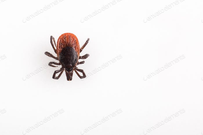 Tick - parasitic arachnid blood-sucking