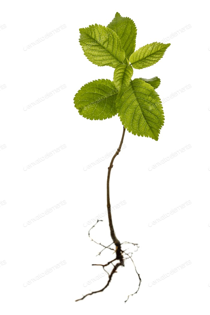 Seedling isolated on white background
