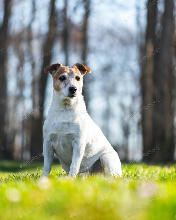 Jack russel terrier on green lawn