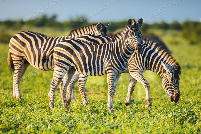 Three Common Zebras grazing on savanna in bright colors