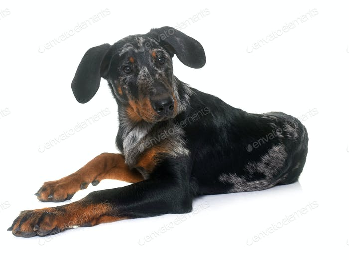 young beauceron in studio