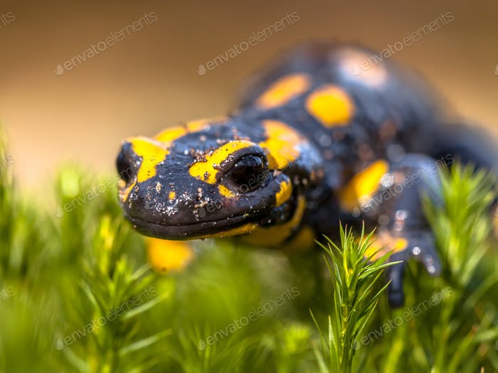 Close up of Fire salamander newt in its natural habitat