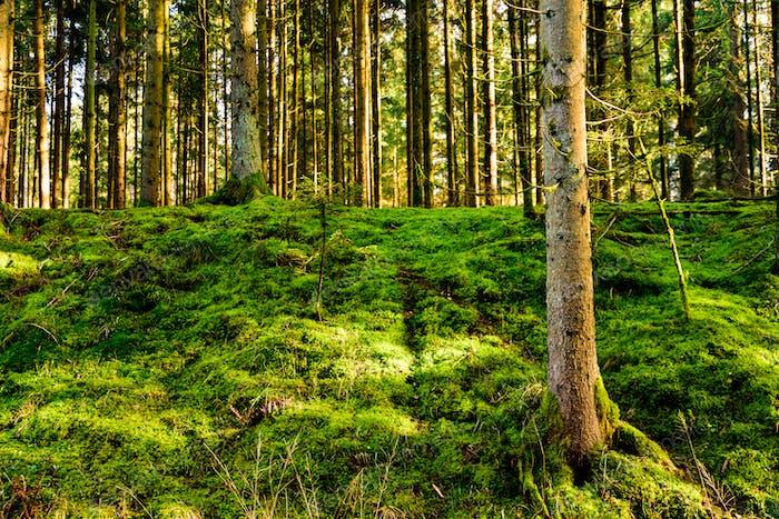 Panorama de hermoso bosque verde con moos verdes