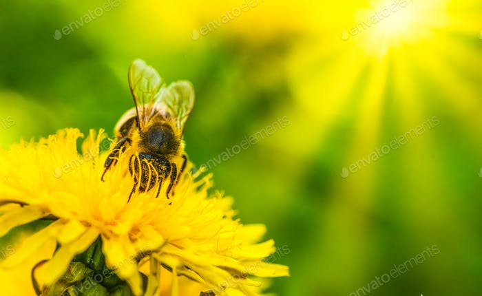 Honey bee covered in pollen collecting nectar from dandelion flower