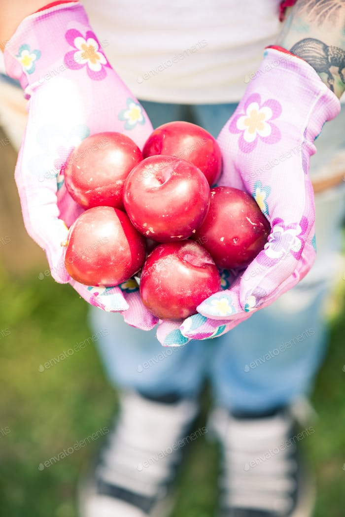 Female hands holding rope red plums in garden