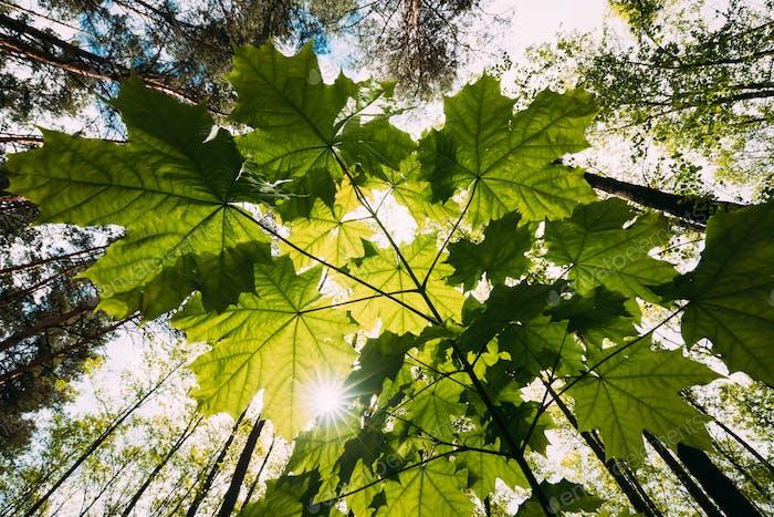 Bottom View Of Sunshine Through Spring Green Maples Foliage. Sun Sunrays Shine Through Fresh