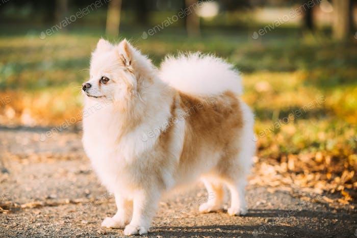 White Pomeranian Spitz Dog Posing Outdoor In Autumn Park Lane
