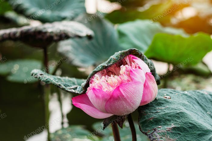 Pink lotus in rainy season