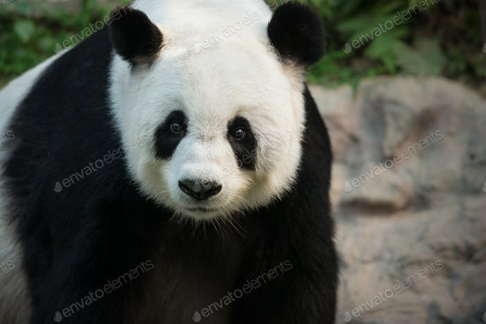 The Giant Panda Ailuropoda melanoleuca