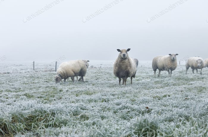 sheep on pasture during frosty cold morning