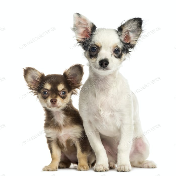 Chihuahua puppies sitting next to each other, isolated on white