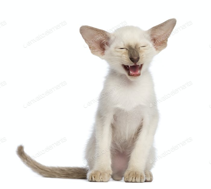 Oriental Shorthair kitten, 9 weeks old, sitting and meowing against white background
