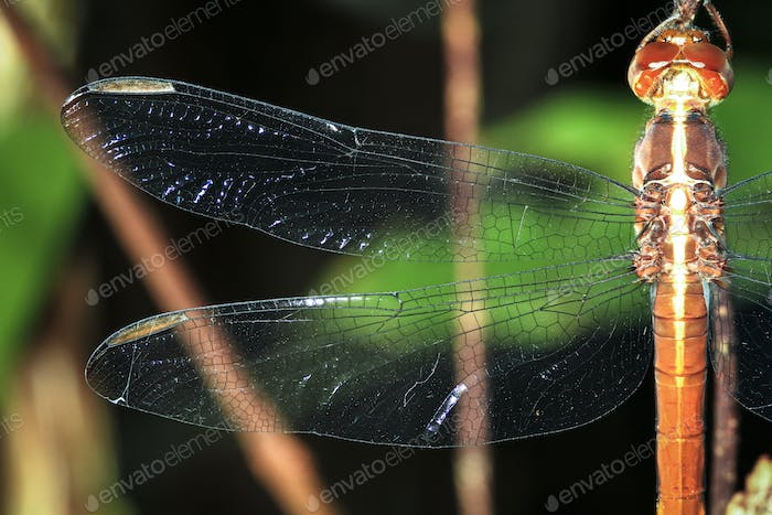 Dragonfly Wing Close Up in Belize