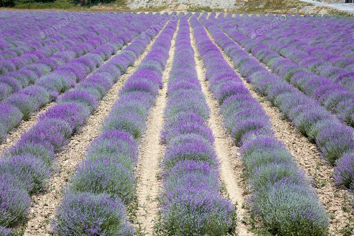 Lavender field, beautiful purple bloom in Provence