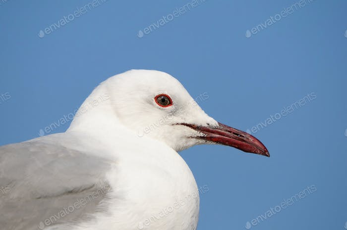 Thumbnail for Grey-headed Gull