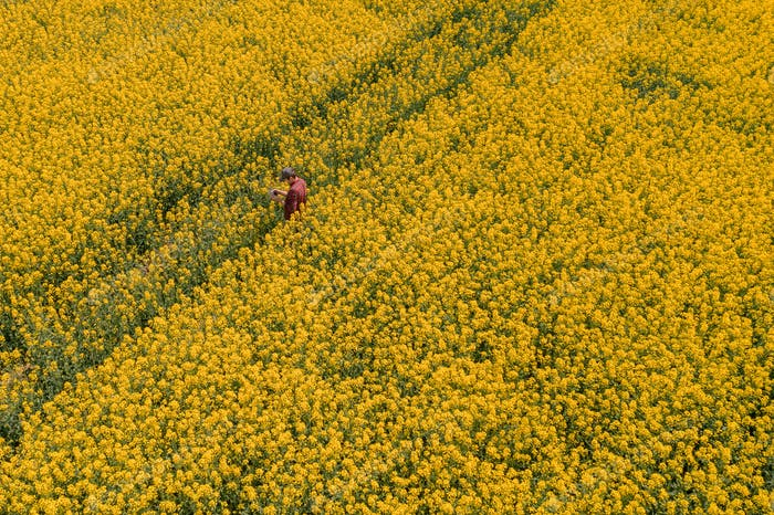 Aerial view of farmer with drone remote controller in rapeseed field using innovative technology