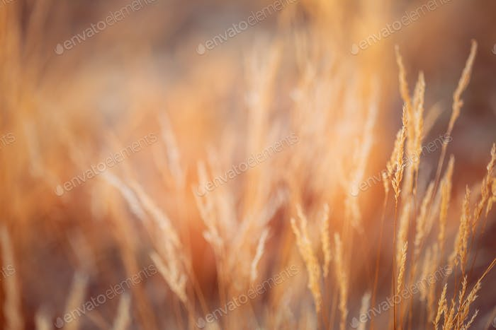 Blurred Bokeh Background With Autumn Dry Grass. Boke Bokeh Grass