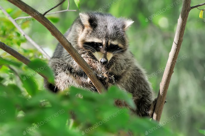 Raccoon on branch