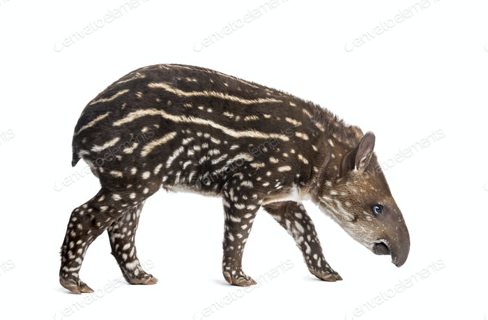 Side view of a young South american tapir sniffing, isolated on white, 41 days old